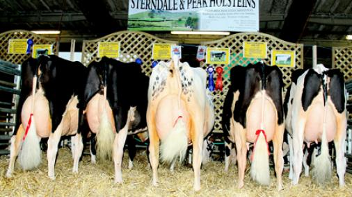 Sterndale Holsteins at the Dairy Expo
